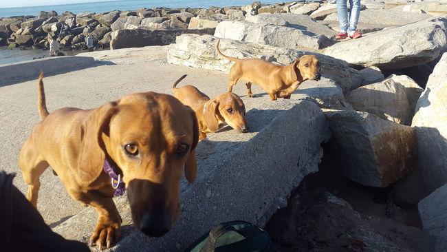 Perritos Perro Salchicha Paseando Playa Hermoso Dia