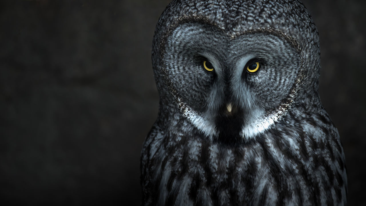 The great grey owl is an endangered species on Sweden. This owl lives in Skansen open air museum. Animal Themes Black Background Close-up Day Endangered Animals Endangered Species Great Gray Owl One Animal One Person Owl Portrait Skansen Sweden