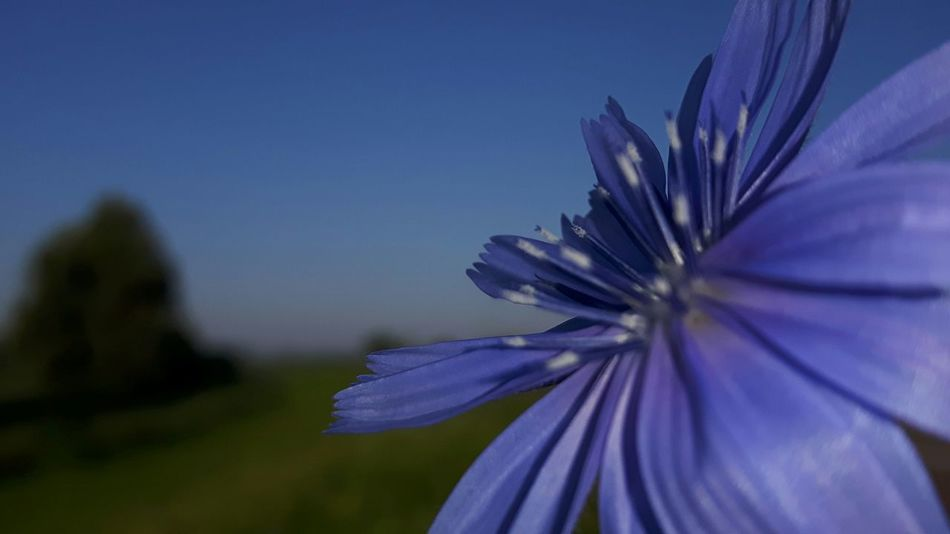 Chicory Chicory Flower Edible Flowers No Edit No Filter Colour Of Life Color Palette True Blue