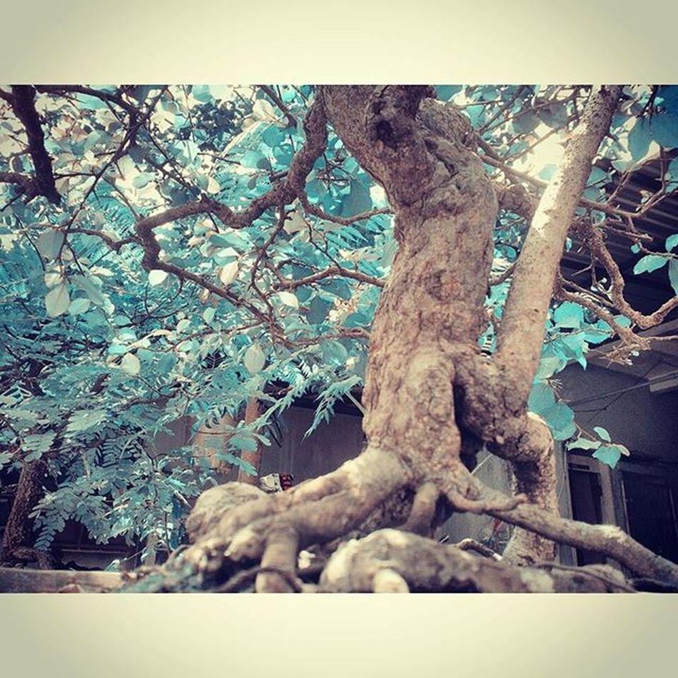 Bonsai Backyard Trees Minitrees