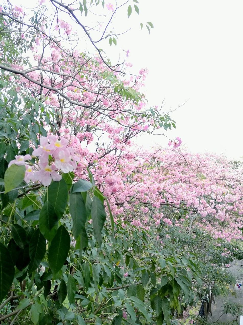 Growth Pink Color Nature Flower Tree Beauty In Nature Springtime Freshness Fragility Petal No People Low Angle View Plant Sky Outdoors Branch Blossom Green Color Rhododendron Day Tabebuia Rosea Tabebuia EyeEmNewHere Pink Trumpet Pink Trumpet Tree