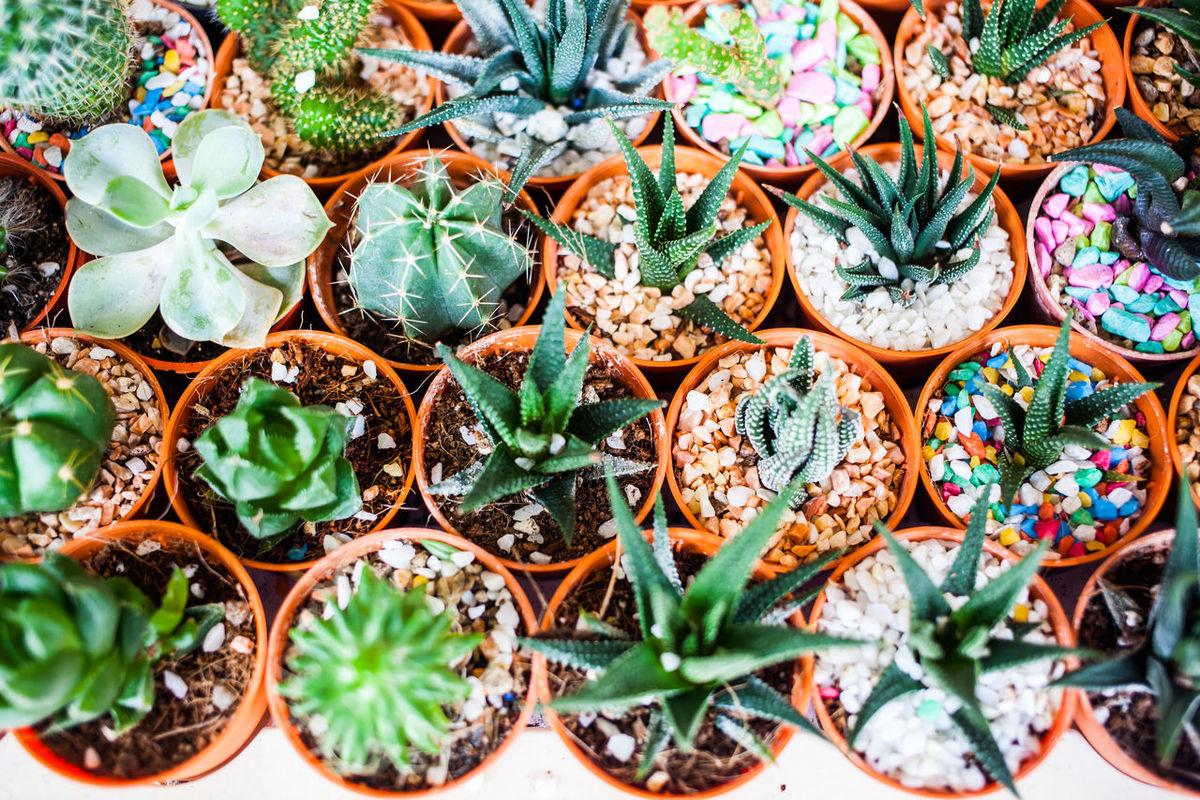 cactus Cactus Desert Nature Plant Colorful Decoration Dry Flower  Mini Plants