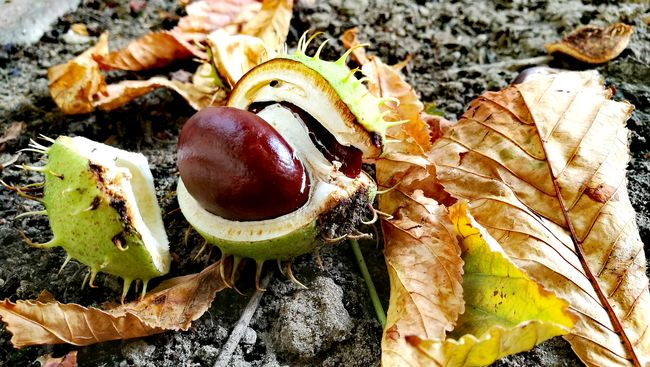 High Angle View Nature Autumn🍁🍁🍁 Chestnuts In The Backyard Berlin Tempelhof Still Life Nature Photography
