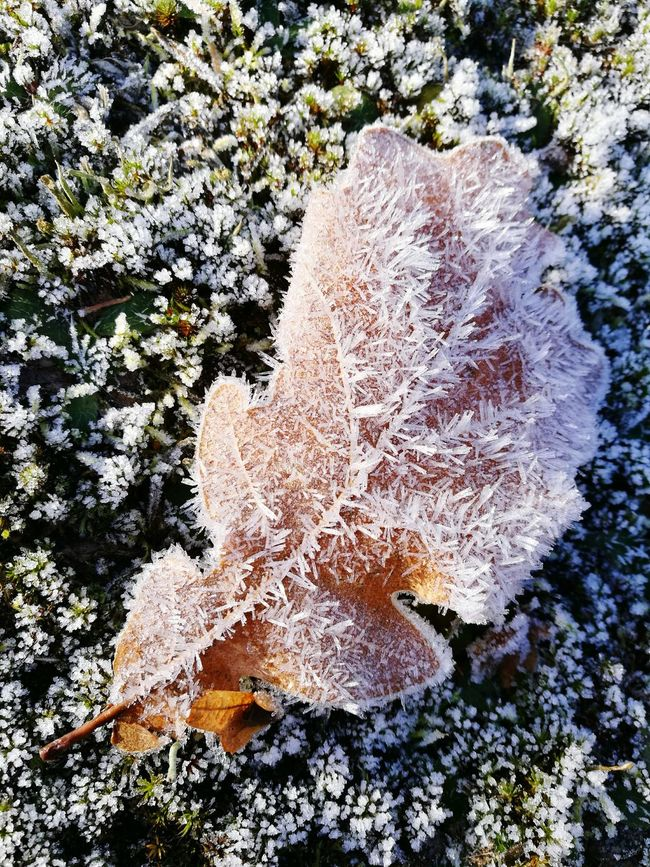 Nature Sunlight Outdoors Beauty In Nature Leaf Winter Oak German Oak Cold Frosty Frozen Nature Cristals Moss Frosted Leaf Beautiful High Angle View