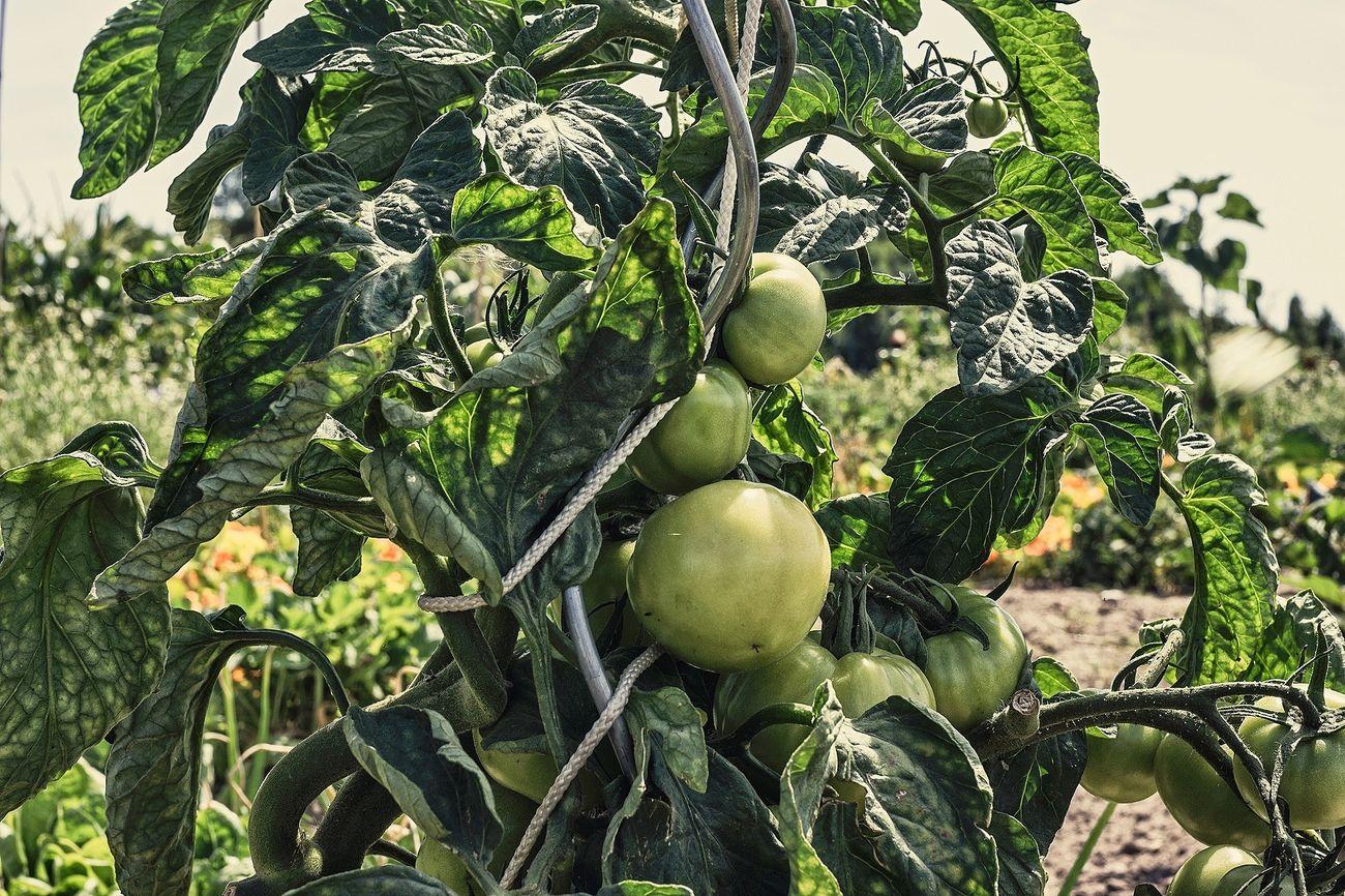 Natural Organic Tomato