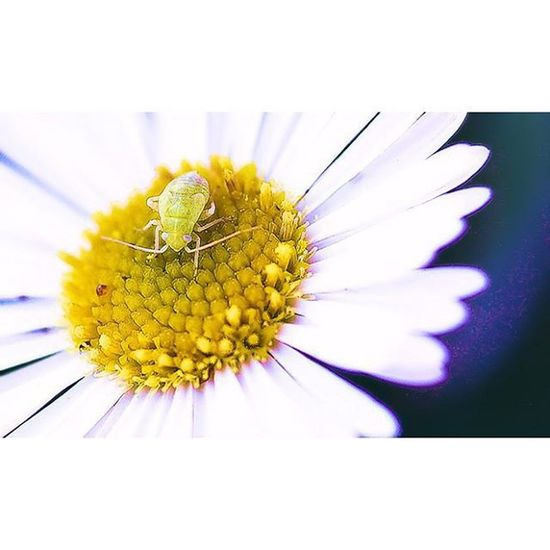 Bugslife Nature Insect Exposure Outdoor Flowerstalking Capture Fotographia NatureIsBeautiful Nature Flowers Summer Nature Details Macro Macroworld_tr Macro_freaks Macrophotography Tv_squareless Tv_squareless_dof Transfer_visions Tv_depthoffield Tv_dof Picture