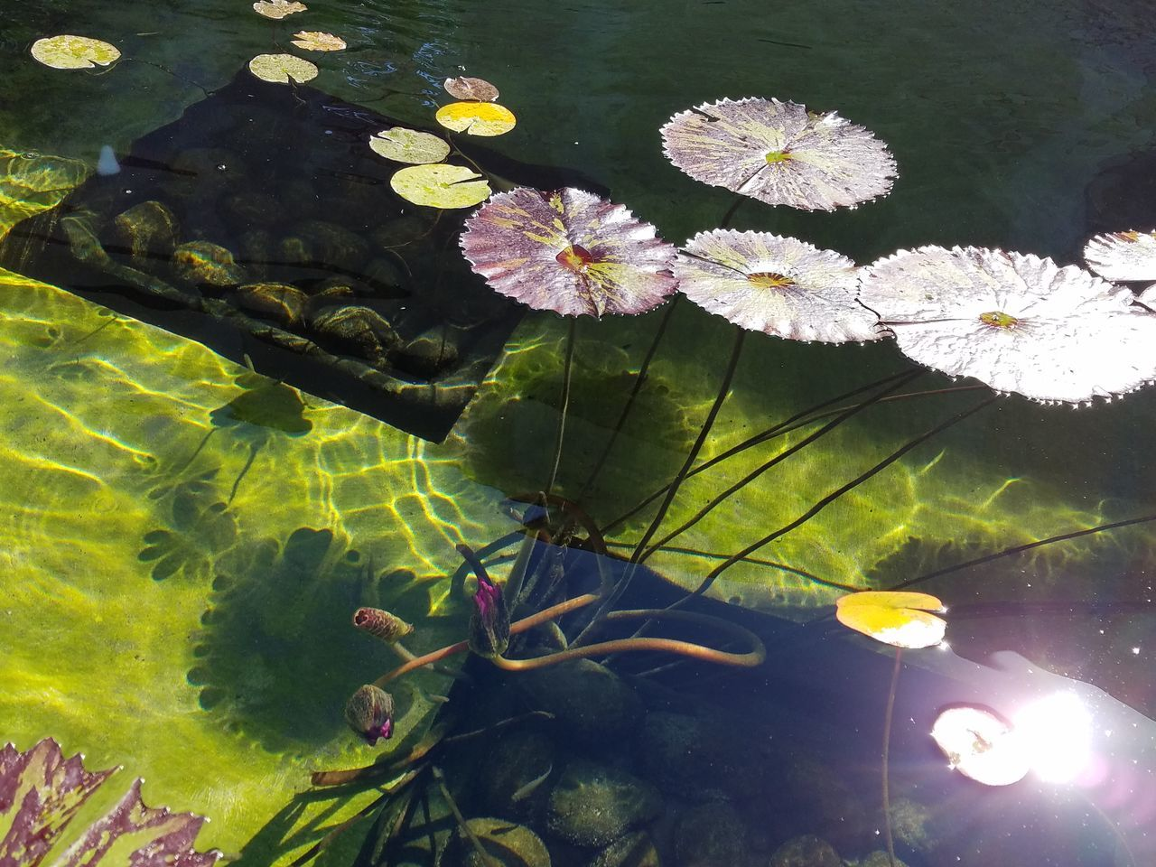 The Purist (no Edit, No Filter) Lily Pad Fragility Beauty In Nature Floating On Water Natural Pattern Natural Color Fine Art Photography Nature_collection Patterns & Textures Check This Out Meditation Zen Still Life Photography Water Plant Vibrant Color Nature Fountain Multi Colored Droplets