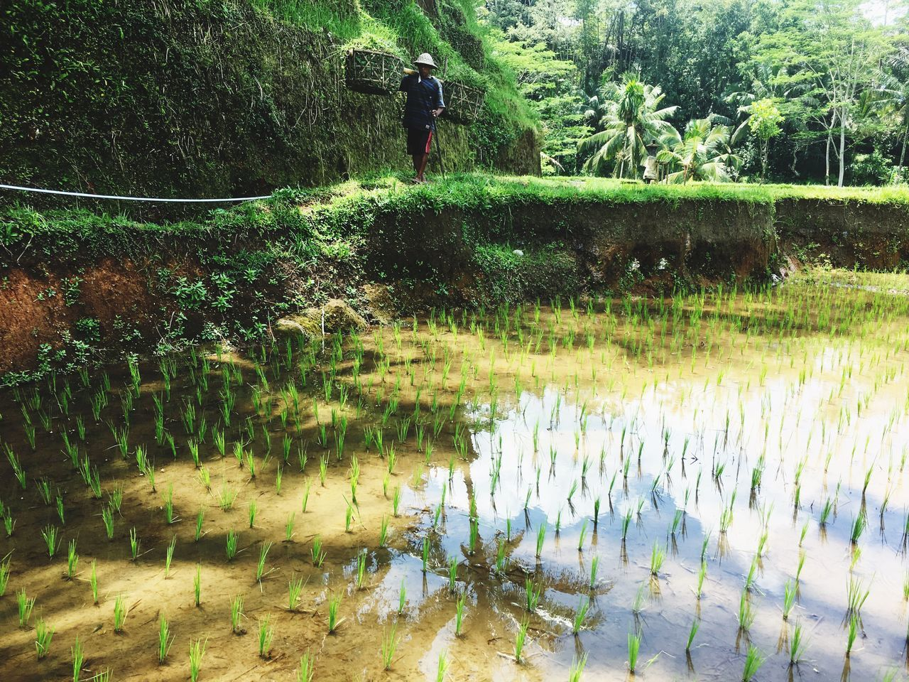 INDONESIA Ubud Nature Rice Field Plant Worker Farmer Beauty In Nature Outdoors One Person Rice Terraces Ricefield Reflection Reflections EyeEm Nature Lover EyeEm Gallery Water Nature Tree Plant Hard Work Sun Culture