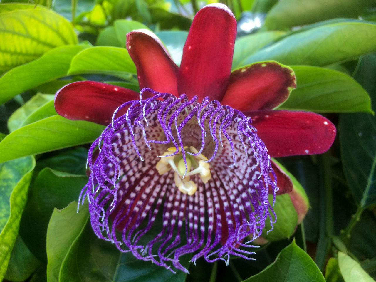 Beauty In Nature Blooming Close-up Day Flower Flower Head Fragility Freshness Growth Maroon Nature No People Outdoors Passion Flower Petal Plant Pollen