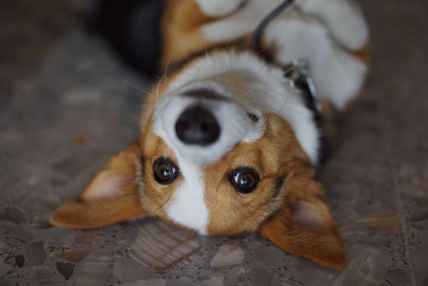 Corgi Corgipuppies Corgi :) Dog Dog Love Dogs Dog❤
