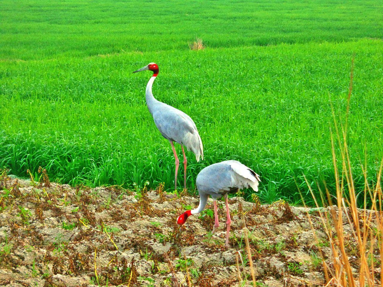 Cranes picking potatoes from the field. Crane Birds Potatoes First Eyeem Photo