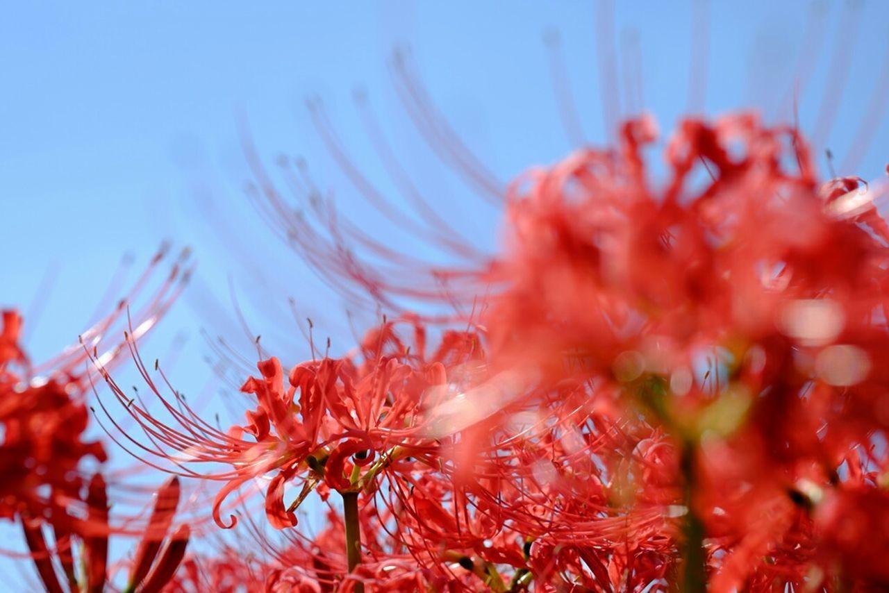 彼岸花 Flower Collection 彼岸花 曼珠沙華 Redspiderlily Xf60 Fujifilm Fujifilm X-E2 Fujifilm_xseries Fujixe2 Flower