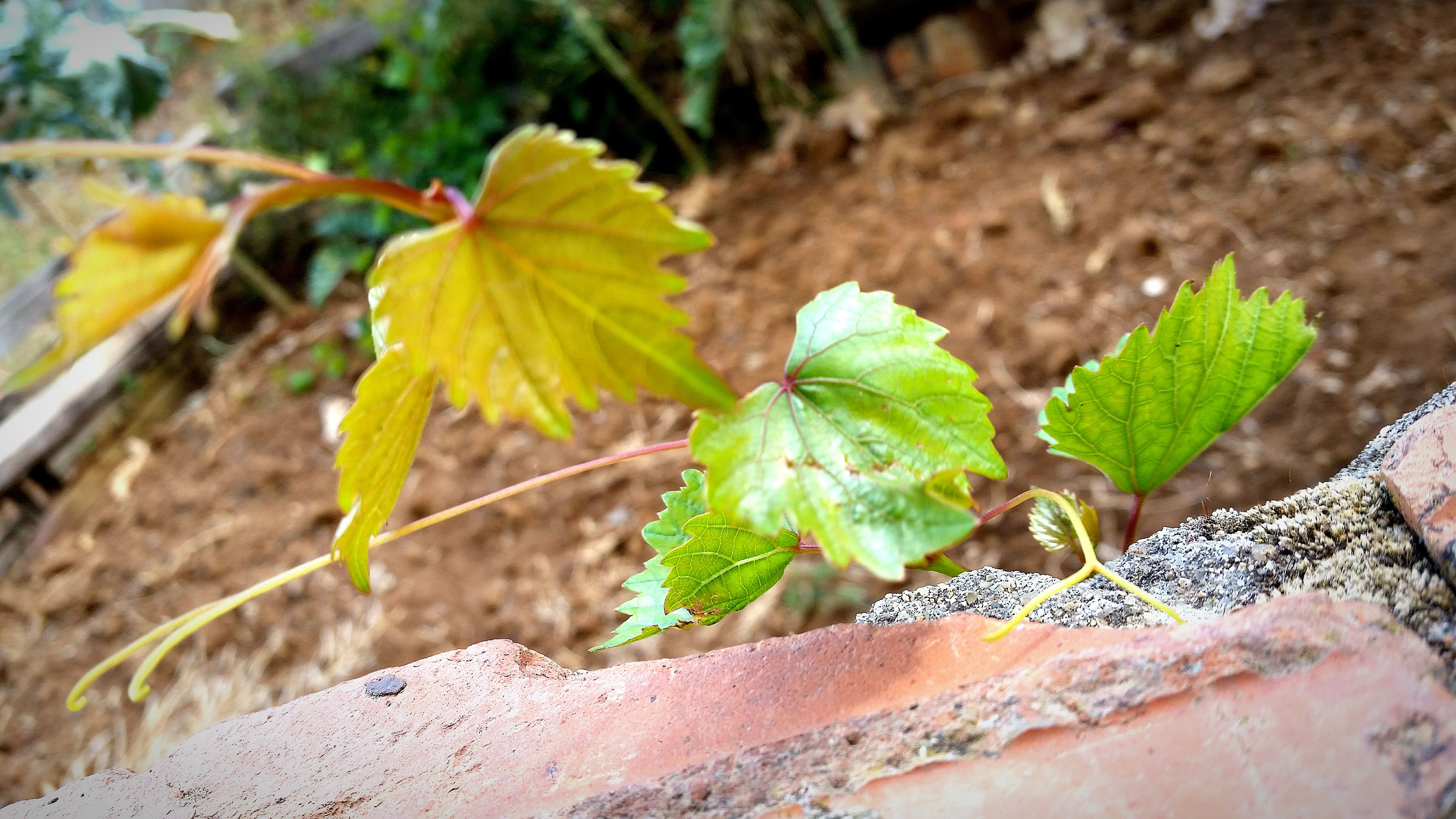 leaf, focus on foreground, green color, close-up, plant, growth, nature, leaf vein, outdoors, day, beauty in nature, yellow, no people, growing, fragility, leaves, stem, sunlight, high angle view, green