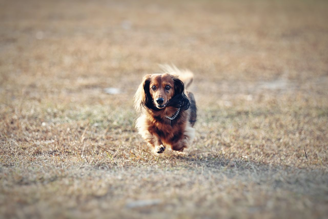 Beautiful stock photos of cute, Animal Themes, Cute, Dachshund, Day
