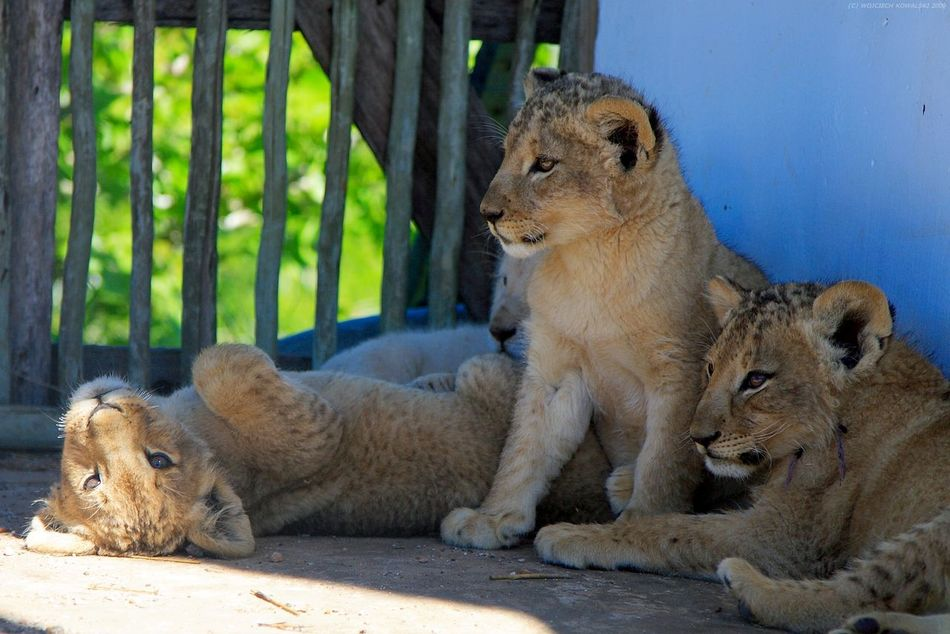 Africa Animal Themes Animals In The Wild Day Lion Lion - Feline Lion Cub Lions Mammal Nature No People Outdoors South Africa Togetherness Wild Wildlife Young Animal