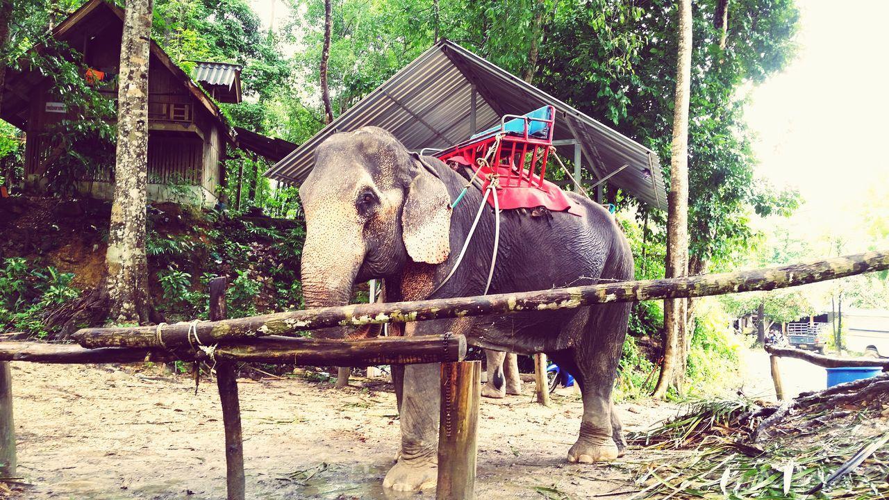 Animal Themes Tree Nature One Animal No People Elephant Day Cage Outdoors Phuket Jungle Forest Wildlife Elephant Trekking Thailand Tourism Traveling