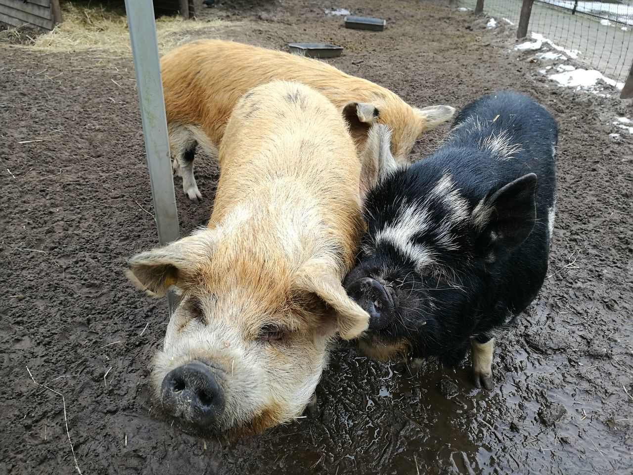 Mammal Animal Themes High Angle View Domestic Animals Outdoors Dog No People Nature Day Close-up Pigs