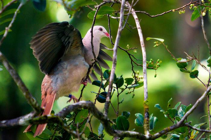 Pink Pigeon Animal Themes Animal Wildlife Animals In The Wild Beauty In Nature Bird Branch Close-up Day Focus On Foreground Full Length Growth Leaf Mauritius Nature No People One Animal Outdoors Perching Tree