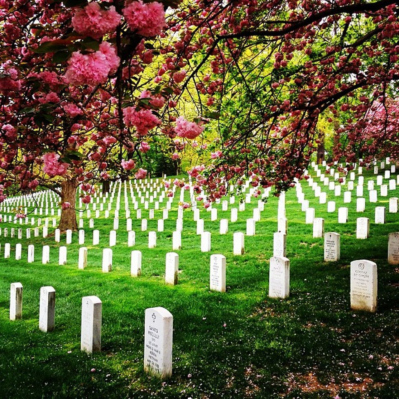 tombstone, cemetery, memorial, tree, gravestone, sadness, graveyard, grave, in a row, no people, outdoors, grass, cross, day, branch, flower, nature