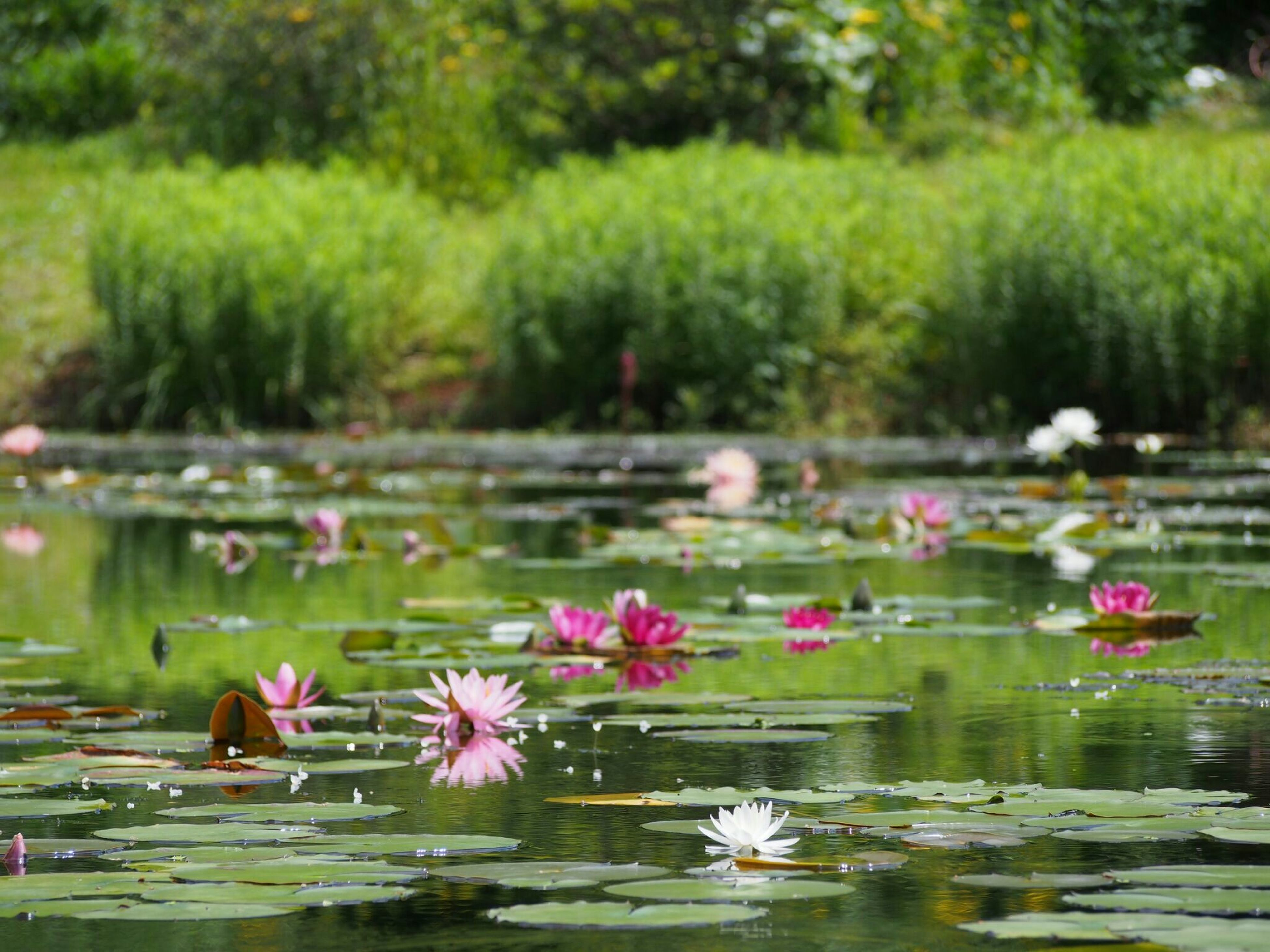 flower, water, freshness, growth, beauty in nature, lake, plant, pond, fragility, nature, petal, blooming, water lily, pink color, green color, tranquility, focus on foreground, floating on water, day, outdoors, in bloom, stem, blossom, no people, flower head, tranquil scene, growing, selective focus, scenics, close-up