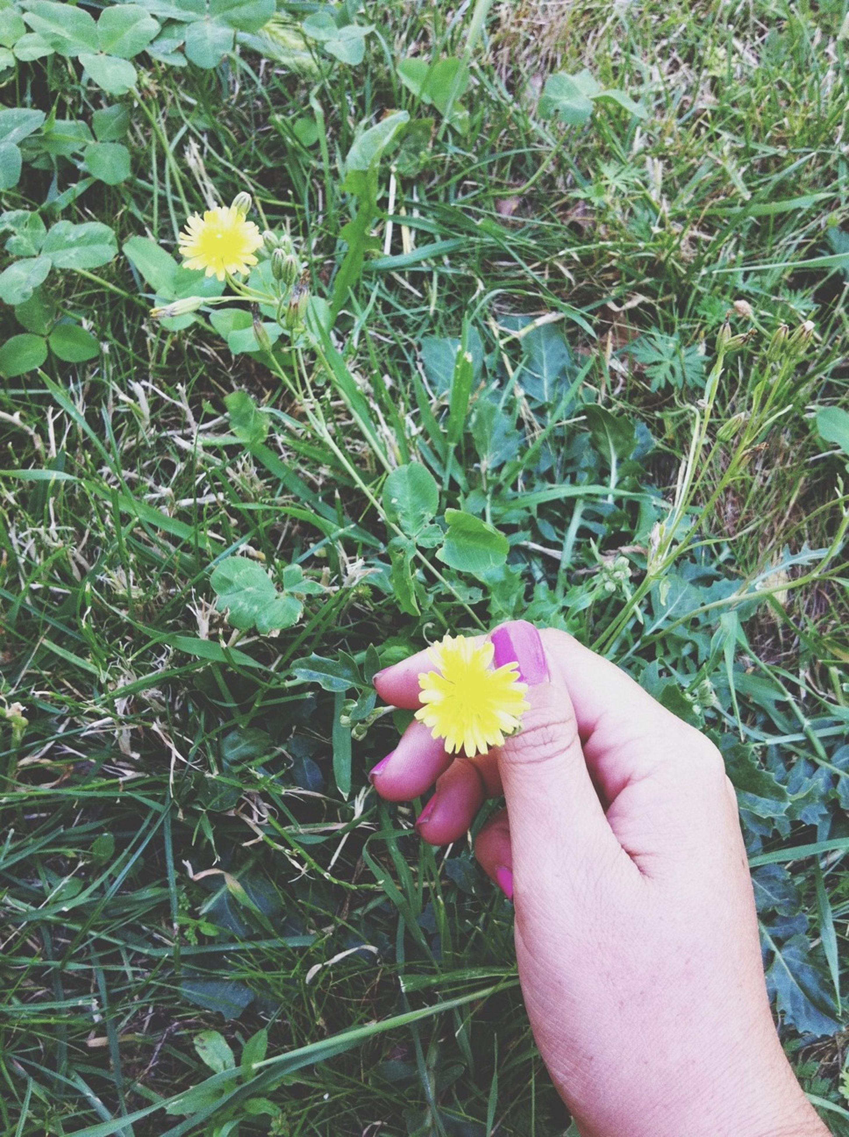 flower, petal, fragility, person, freshness, flower head, holding, part of, single flower, grass, field, personal perspective, growth, high angle view, cropped, unrecognizable person, close-up