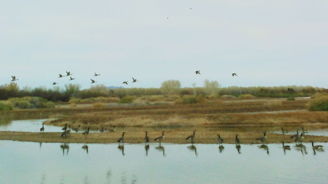 Wild Geese Geese Gathering Geese Migration Ducks And Geese Natureporn Arizona Birds_collection