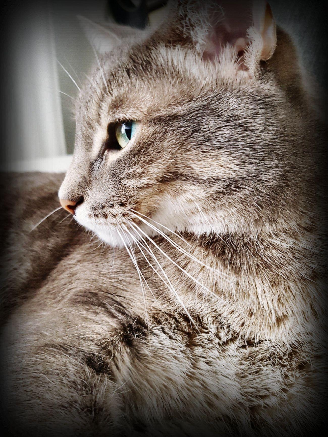 Domestic Cat Catphoto Lovelycat Cateyes Beautifulcat Picoftheday Bestmeow Amourdechat DouceurHome First Eyeem Photo