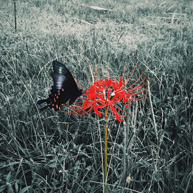Flower Red Butterfly Freshness Beauty In Nature Nature Outdoors Growth Streetphotography 彼岸花 Eyem Best Shots Mobilephotography