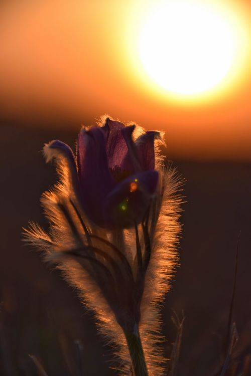 Flower Nature Petal Beauty In Nature Growth Flower Head Fragility Sunset Plant Freshness Yellow No People Close-up Sun Outdoors Day Pulsatilla Patens Pulsatilla Pasqueflower