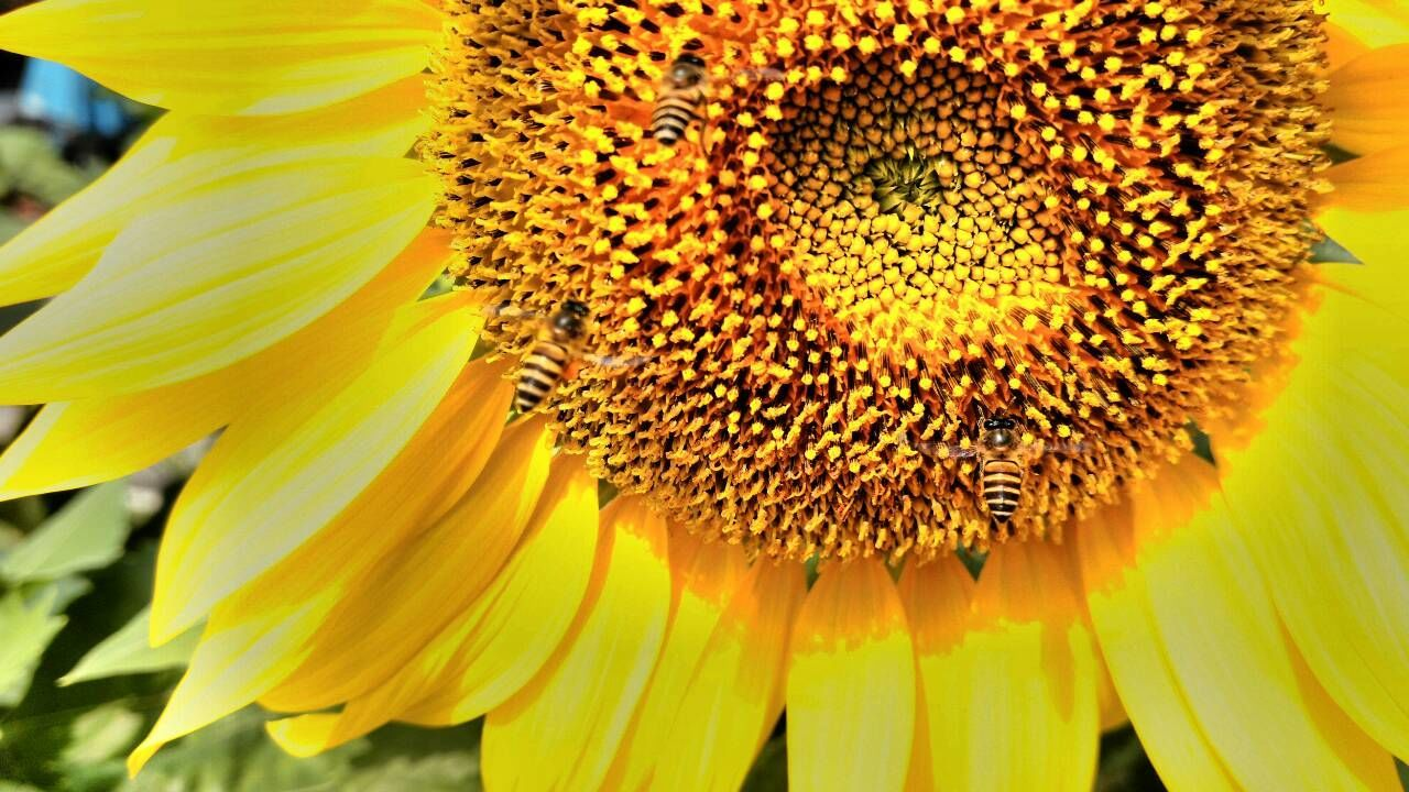 flower, petal, fragility, yellow, beauty in nature, freshness, flower head, close-up, pollen, nature, sunflower, growth, no people, springtime, blooming, plant, day, outdoors, stamen, black-eyed susan