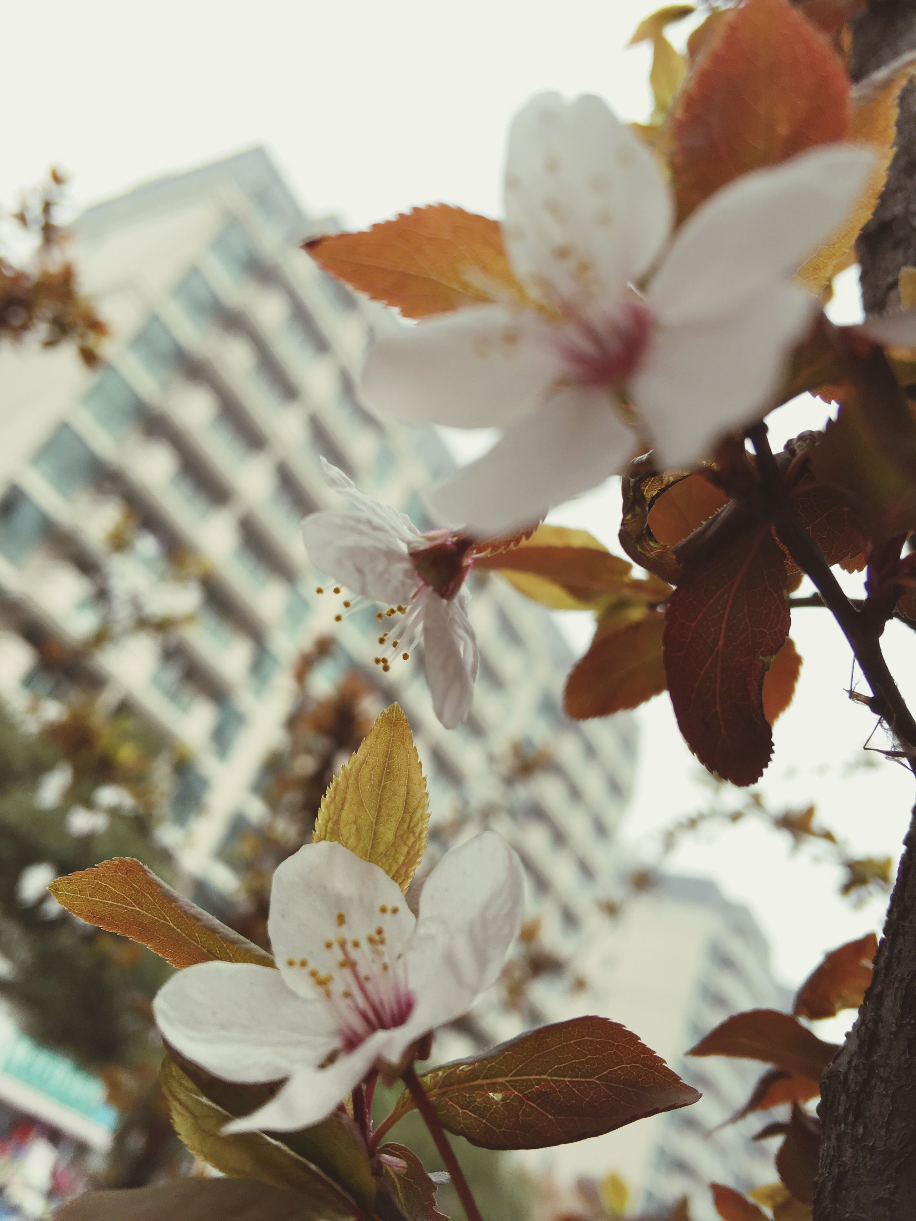 flower, freshness, fragility, petal, growth, flower head, beauty in nature, nature, blooming, in bloom, close-up, blossom, white color, focus on foreground, branch, stamen, low angle view, pollen, springtime, tree