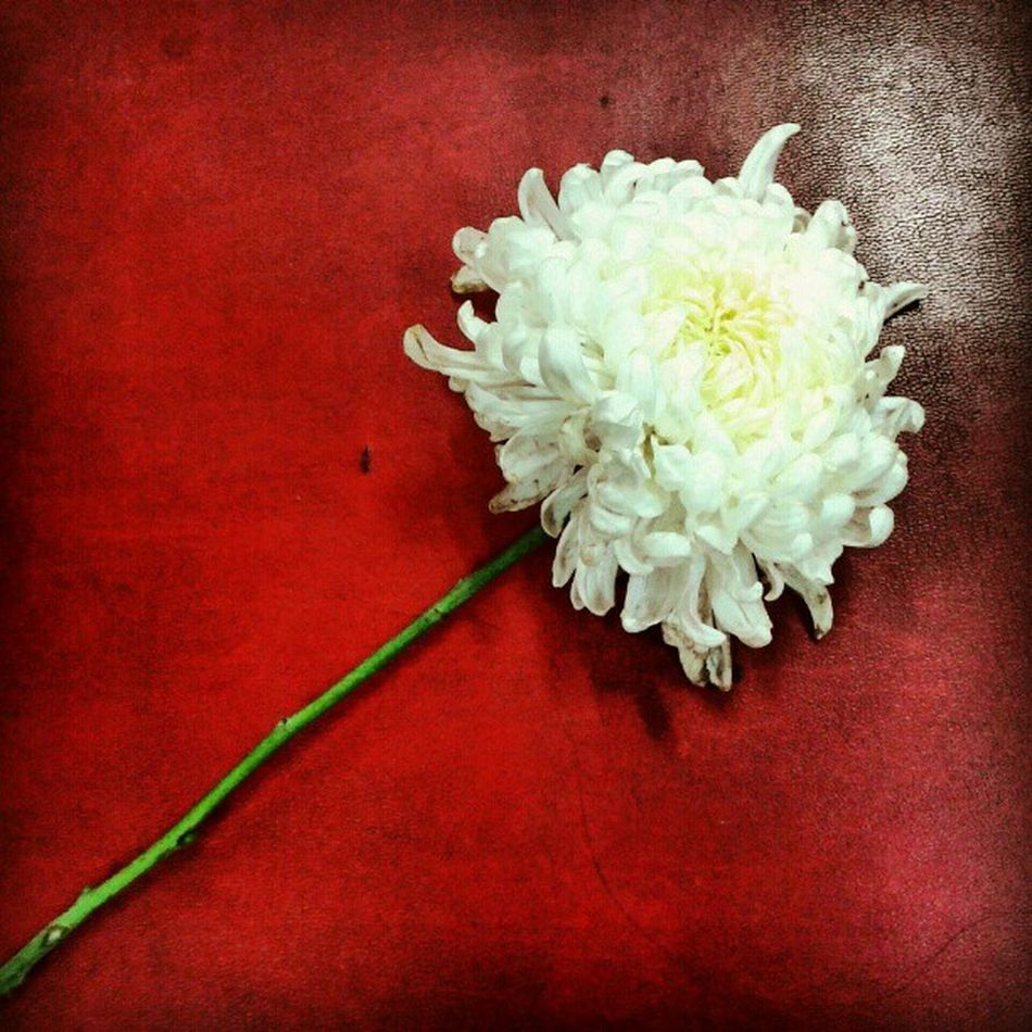 Edited Red Photoftheday Android Amazing Samsung Beautiful Mobilephotography Flower Instaflower White Floral Perfection Flower_instagram Floralstyles  Instagold Instanice Insta4fun Instagood Instagram_underdogs IGDaily Instagramhub Instacool Instafuse Instago