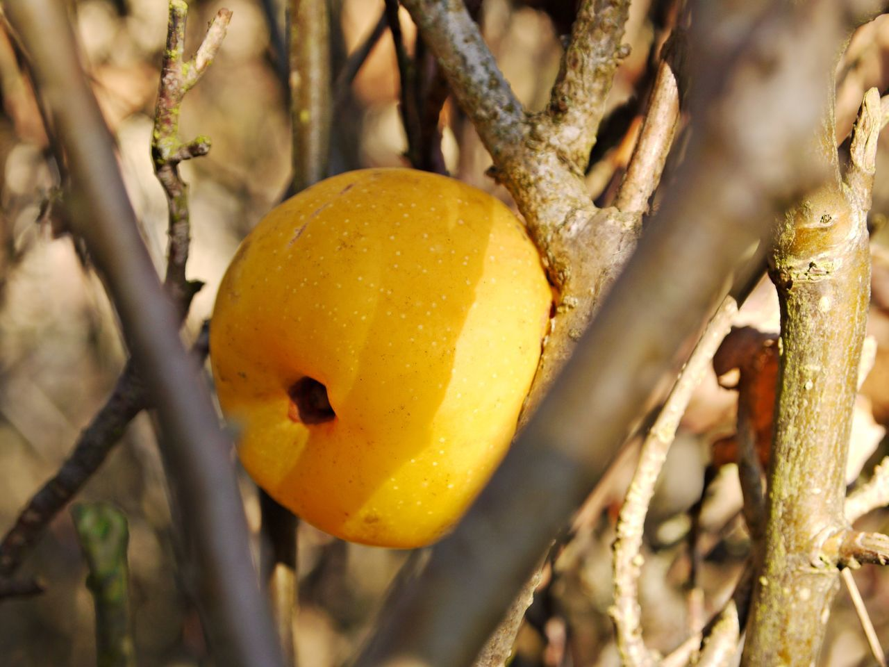Autumn Fruits Beauty In Nature Branch Close-up Day Focus On Foreground Food Fruit Greengages Healthy Food Nature No People Outdoors Tree Yellow