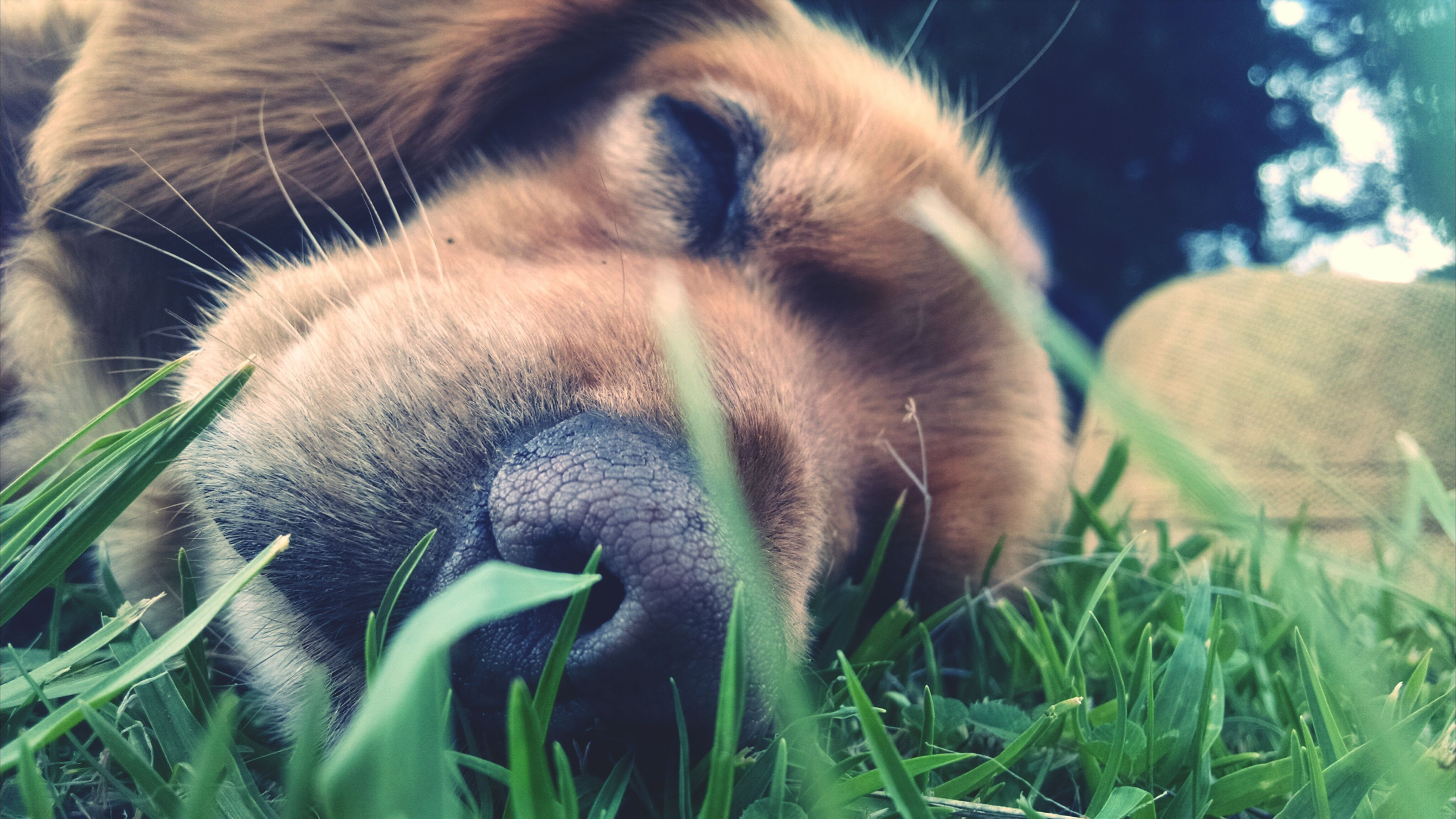 animal themes, one animal, mammal, domestic animals, close-up, pets, grass, animal head, focus on foreground, field, relaxation, animal body part, no people, nature, day, resting, outdoors, selective focus, part of, animal hair