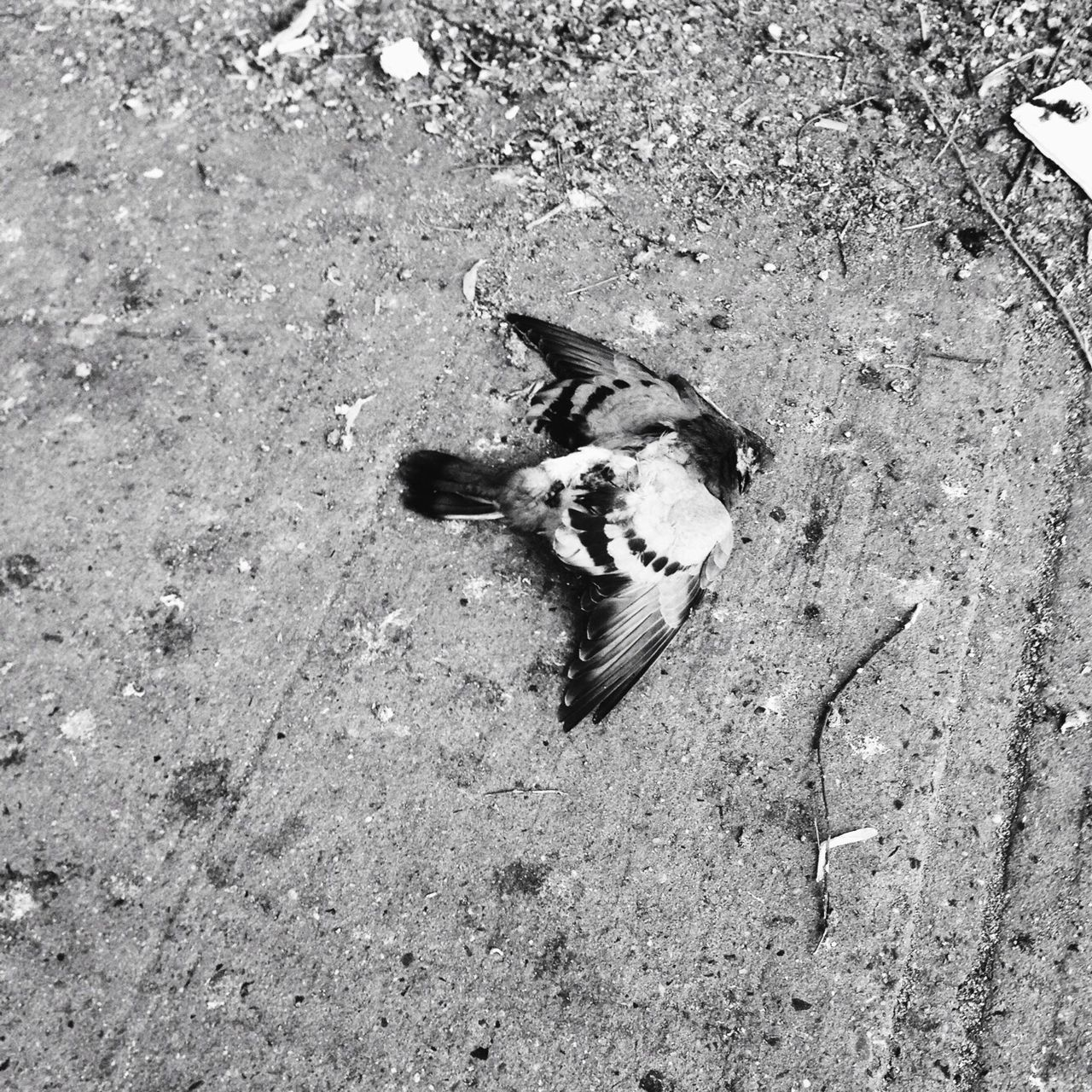 Animal Themes Bird Dead Animal Dead Bird Black And White Life Death Wings Pigeon Outdoors City Sidewalk