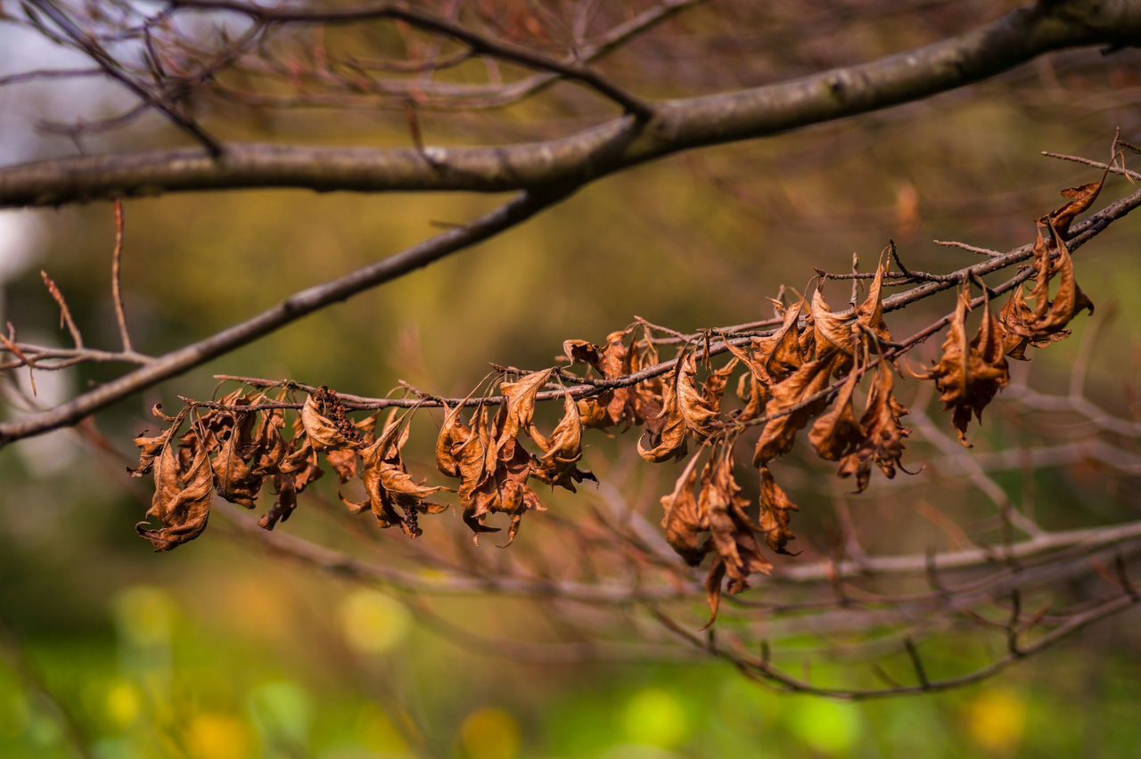 Brown leaves Autumn Branch Branches Brown Dried Dry Fall Forest Growing Growth Hanging Leaf Leaves Morning Light Nature No People Outdoor Plants Seasons Spring Tree Twigs
