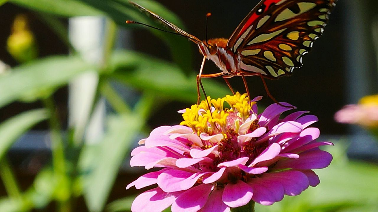 flower, insect, animals in the wild, animal themes, fragility, freshness, petal, beauty in nature, one animal, nature, growth, focus on foreground, flower head, plant, butterfly - insect, no people, close-up, day, animal wildlife, outdoors, pollination, blooming, zinnia
