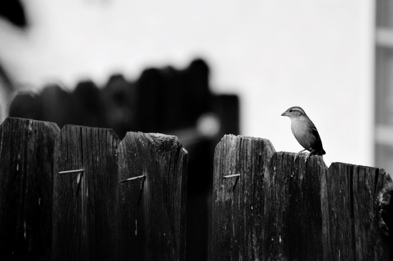 Close-Up Of Small Bird On Wooden Fence