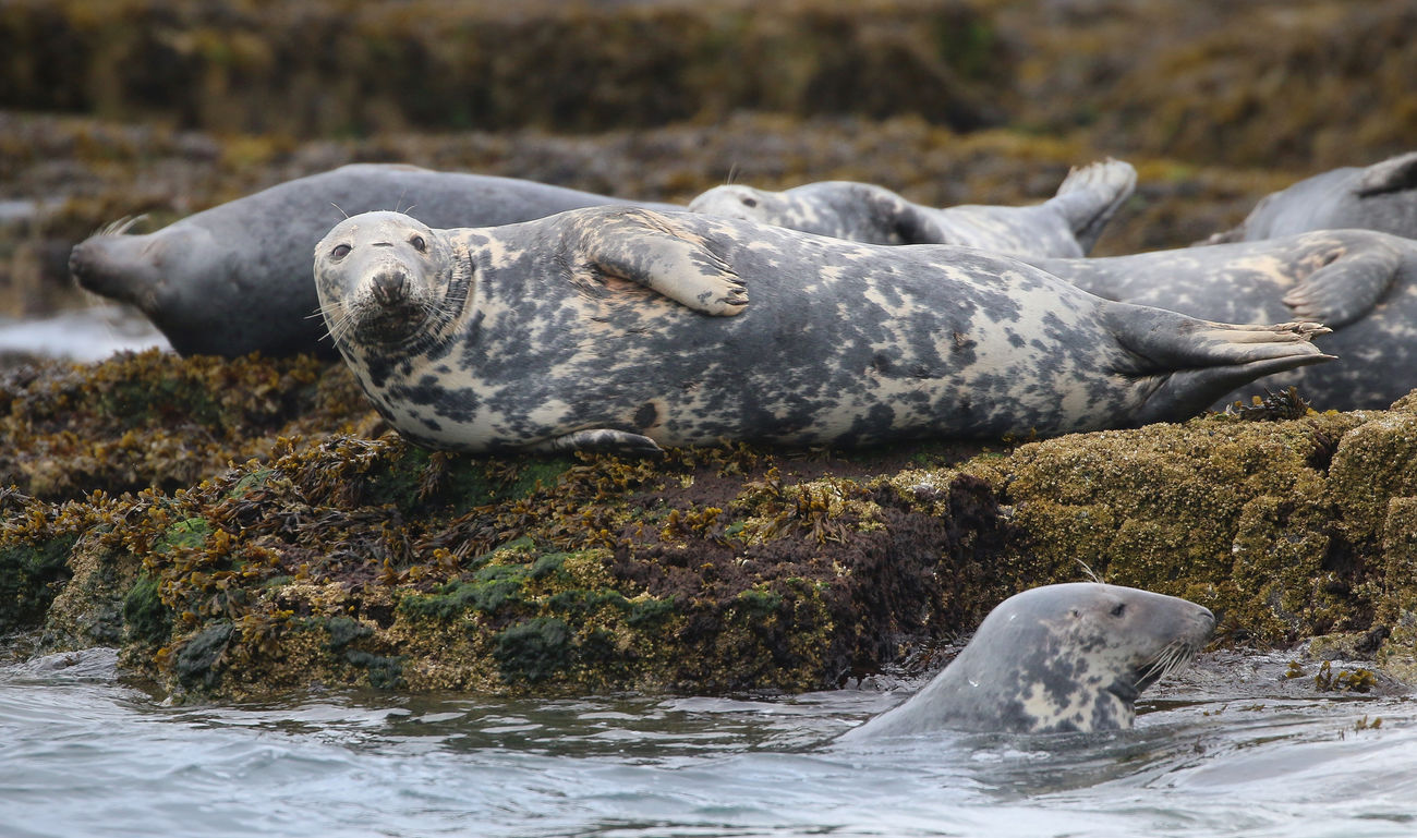 Grey Seal in the Farne Islands Animal Themes Animal Wildlife Animals In The Wild Aquatic Mammal Beauty In Nature Close-up Day Mammal Nature No People Outdoors Rock - Object Water