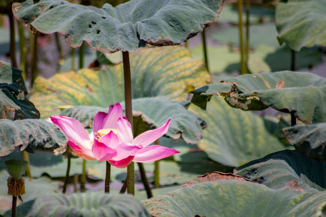 Lotus flower near a paddy field at Perak, Malaysia Beauty In Nature Blooming Close-up Day Floating On Water Flower Flower Head Fragility Freshness Growth ISO Isolated Leaf Lily Pad Lotus Lotus Water Lily Nature No People Outdoors Petal Pink Color Plant Water Water Lily