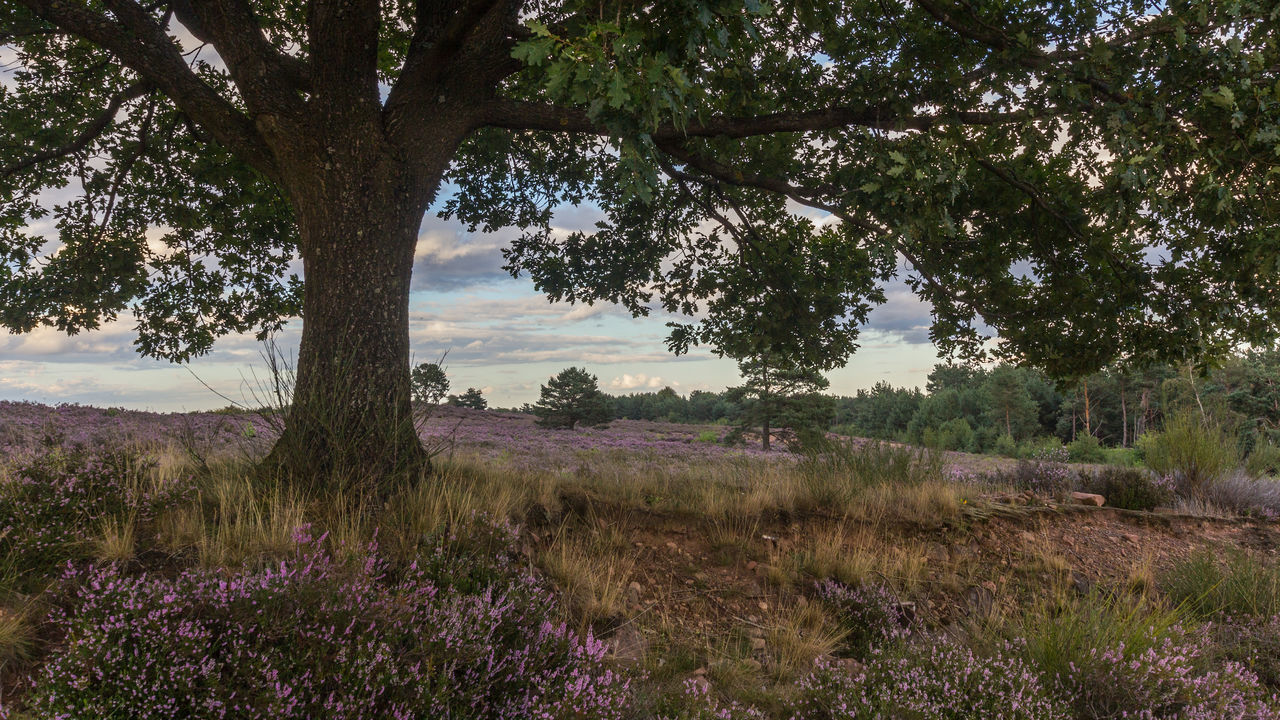 Mehlinger Heide Beauty In Nature Day Erica Growth Heather Heathland  Landscape Late Afternoon Light Nature No People Oak Outdoors Plant Scenics Sky Tranquil Scene Tranquility Tree