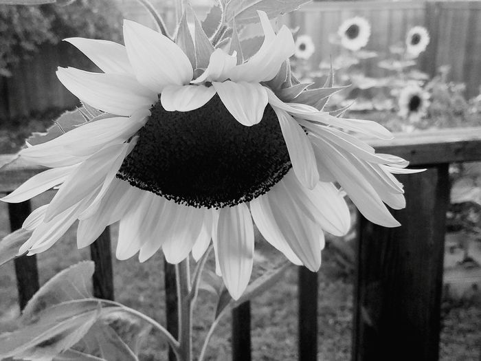 Black And White Sunflower Sunflowers Summer Summer Views Summer Vibes Back Porch Sitting
