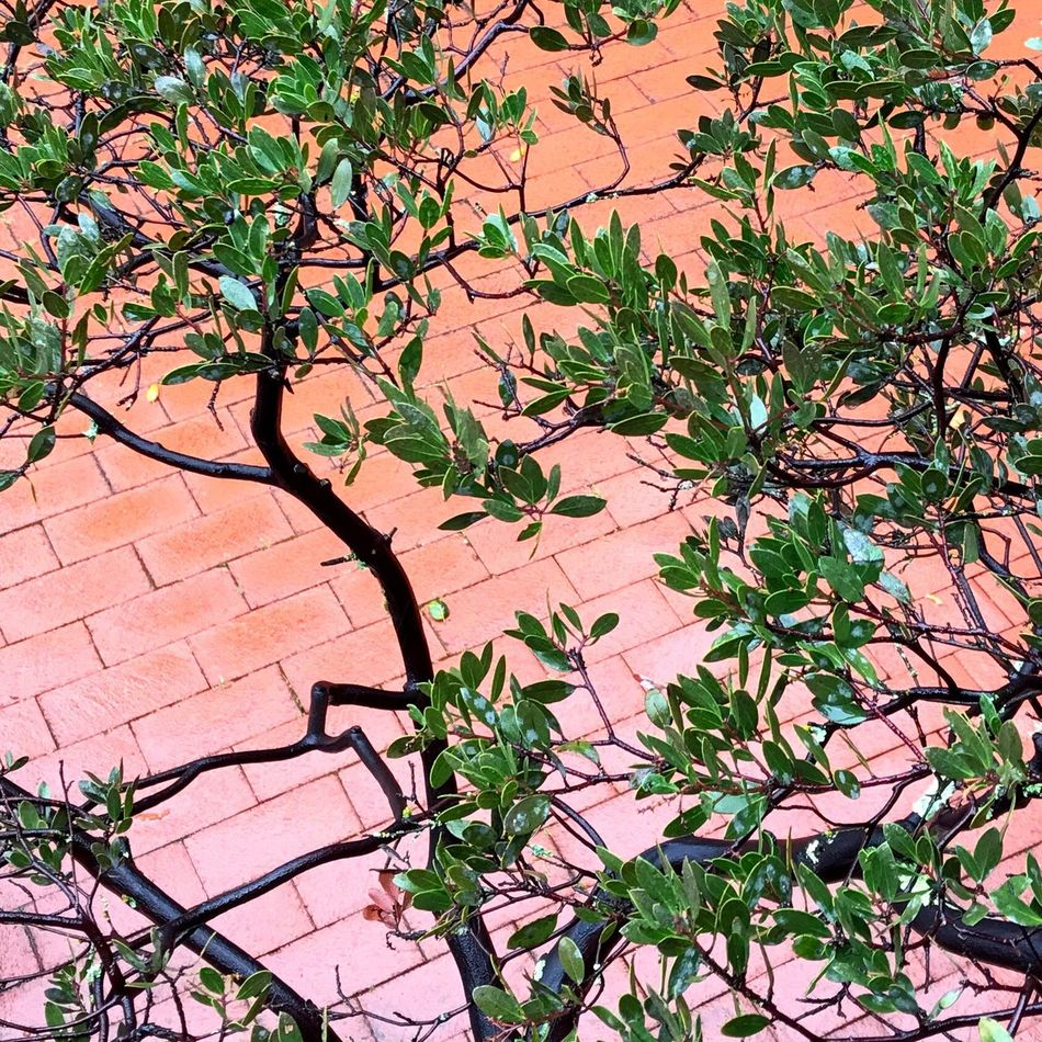 Growth Nature Plant No People Leaf Day Outdoors Tree Beauty In Nature Branch Manzanita Brick Patio Plants And Bricks