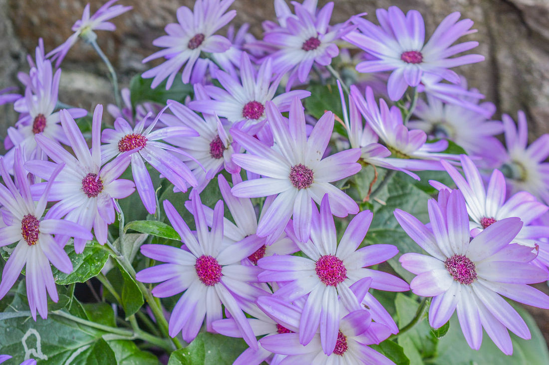 Beauty In Nature Bloom Blooming Botany Bright Chrysanthemum Close-up Day Flower Flower Head Flowers Freshness Garden Flowers Growth In Bloom Large Flowers Lilac Nature Optimism Petal Pink Plant Purple Season  Softness