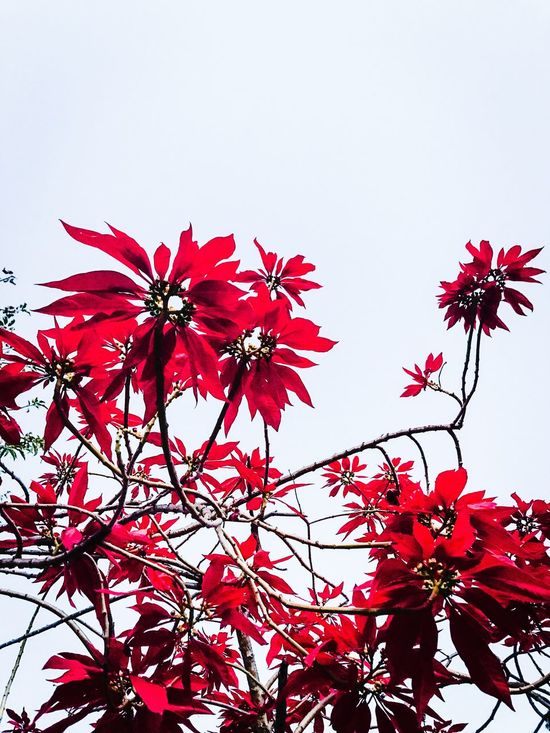 Flower Red Beauty In Nature Growth Nature Low Angle View Fragility Clear Sky Freshness Petal No People Day Tree Outdoors Leaf Flower Head Blooming White Background Close-up Sky