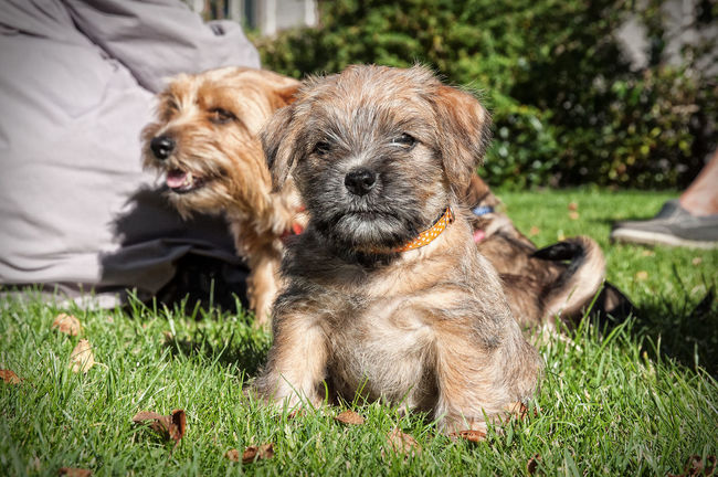 Puppy Norfolk terrier in the grass Animal Animal Themes Brown Close-up Day Dog Domestic Animals Focus On Foreground Garden, Grass Green Color Mammal Nature Norfolk Terrier Outdoors Pets Puppy Relaxation Resting Selective Focus