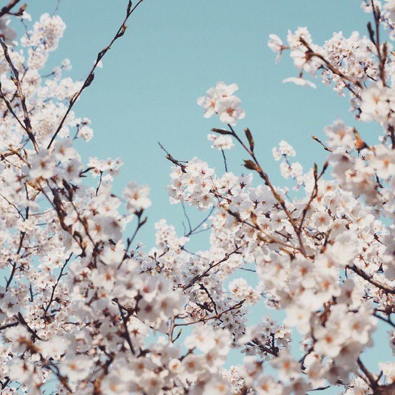 다시 찾아온 봄 벚꽃 너는 참 매번 예쁘다 내가 좋아하는 중앙공원 벚꽃나무 느낌적인느낌 민트 민트한 하늘 봄바람 살랑살랑