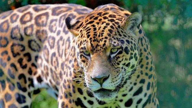 Wildlife Nature Cat Portrait Eye4photography