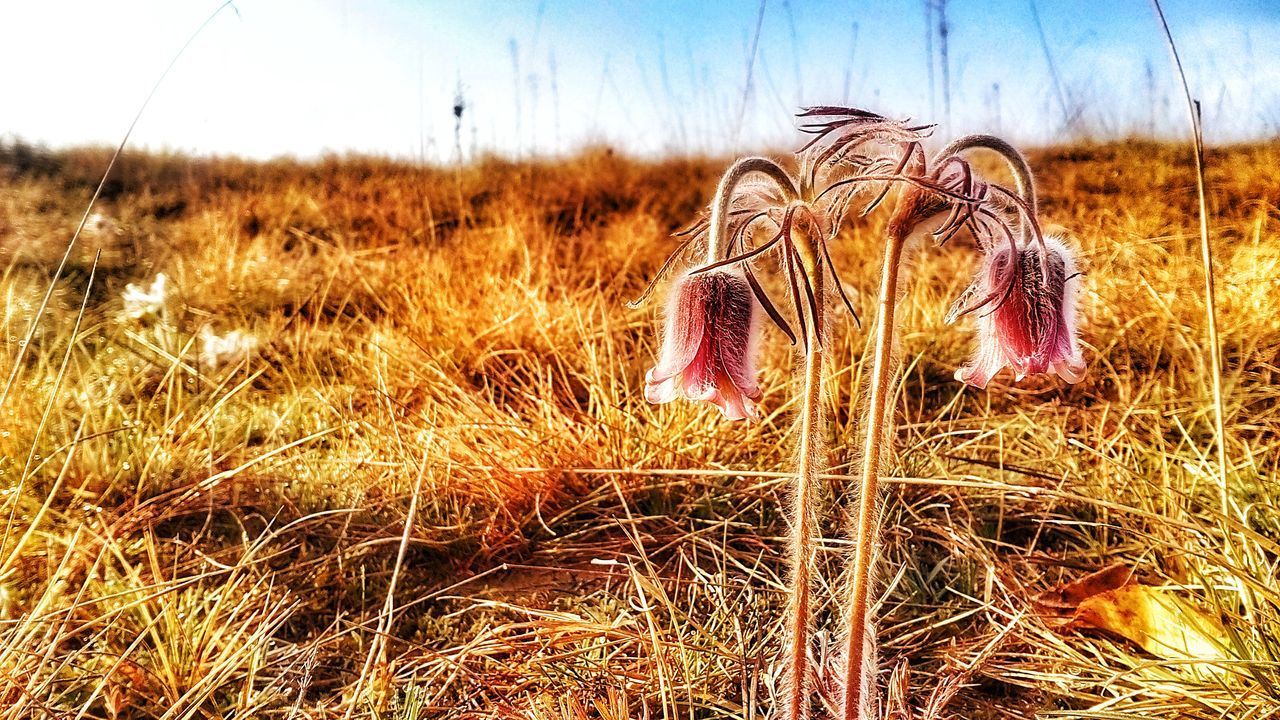 Pulsatilla Flavescens Hungarica Pratensis Subspecies Species Flower Flora Flos Endangered  Rare Nature Conservation Sand Grass Purple Ranunculales Ranunculus Outdoors Grass Day Sky Blue