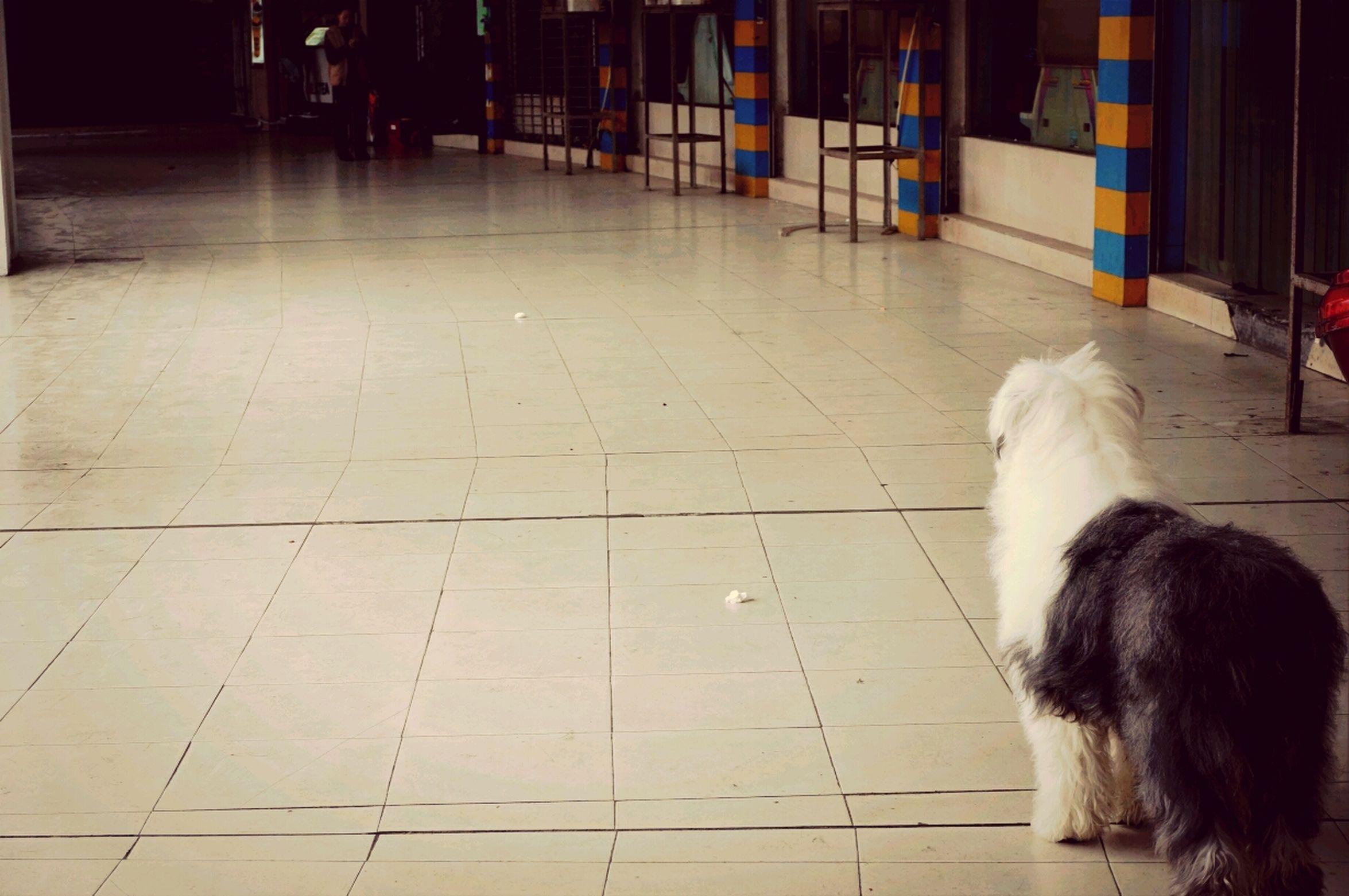 Dog Big Dog Shii